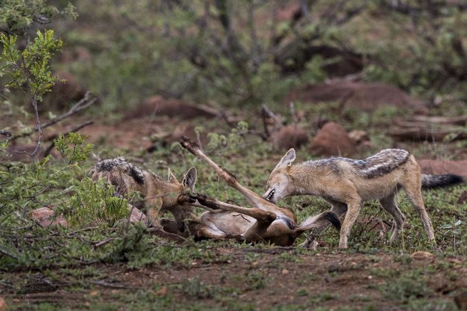 Two black-backed jackals with wildebeest calf prey in Kruger National Park, South Africa