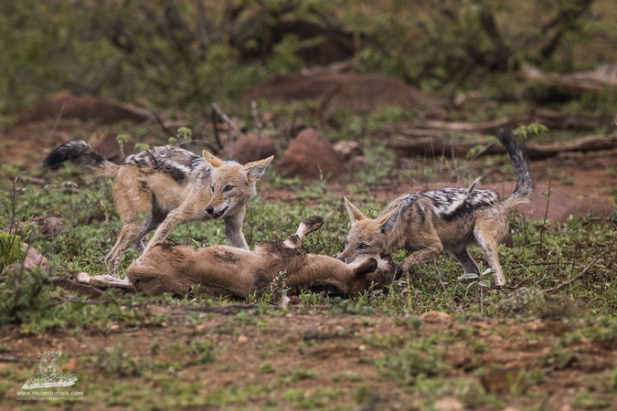 Two black-backed jackals with wildebeest calf in Kruger National Park, South Africa