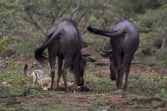 Two wildebeest with calf and black-backed jackals in Kruger National Park, South Africa