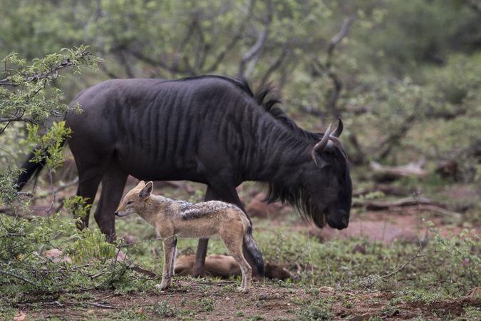 Black-backed jackal and wildebeest in Kruger National Park, South Africa