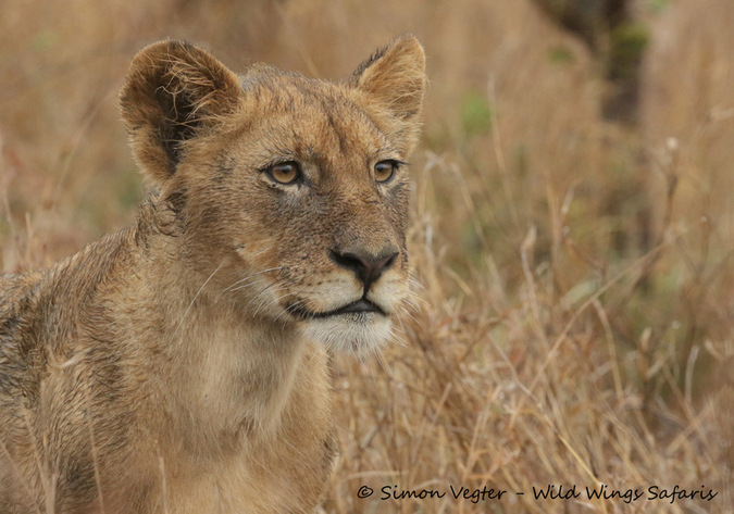Young lion in the bushveld