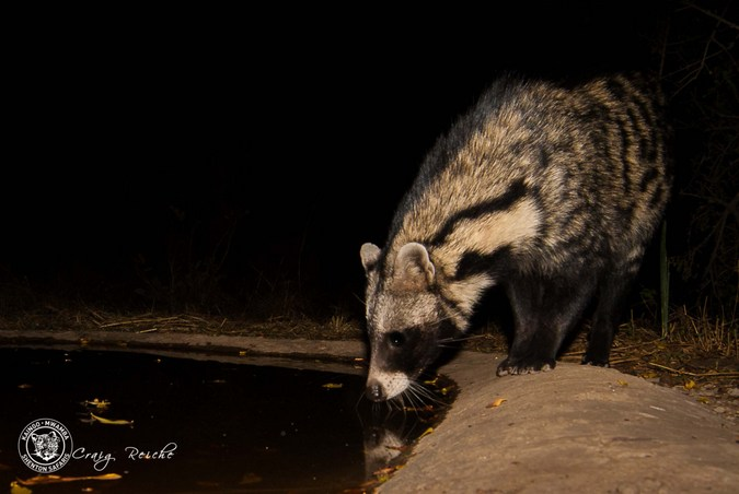Civet at waterhole in South Luangwa National Park. Zambia
