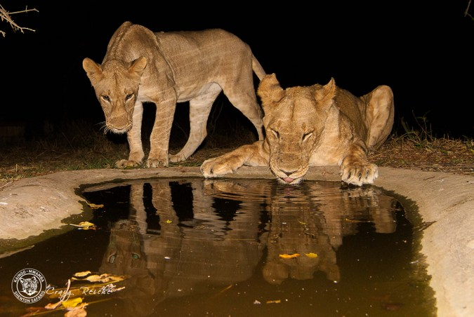 Two lions at a waterhole in South Luangwa National Park. Zambia