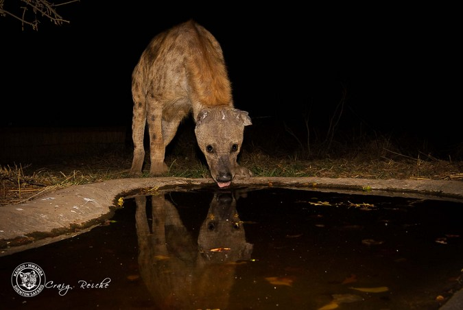 Spotted hyena at waterhole in South Luangwa National Park. Zambia