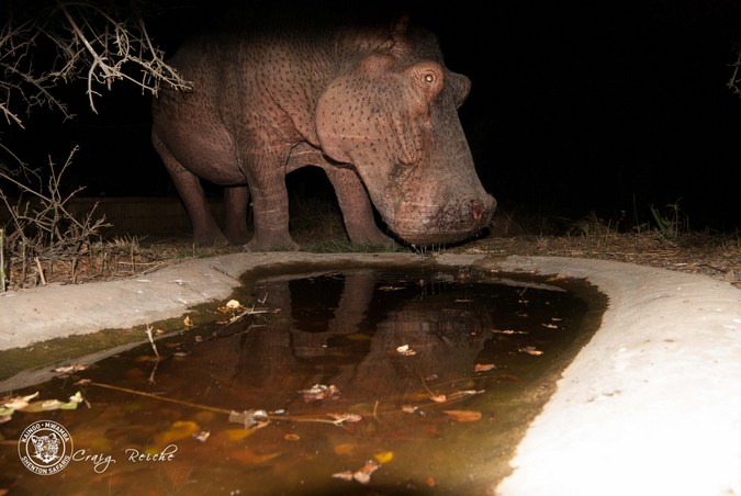 Hippo visits waterhole at night in South Luangwa National Park. Zambia