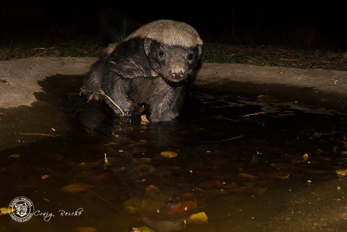 Honey badger swimming in waterhole in South Luangwa National Park. Zambia