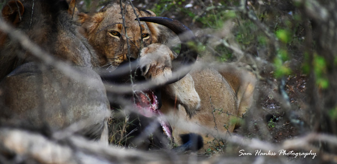 Lion eating buffalo in Greater Kruger, South Africa