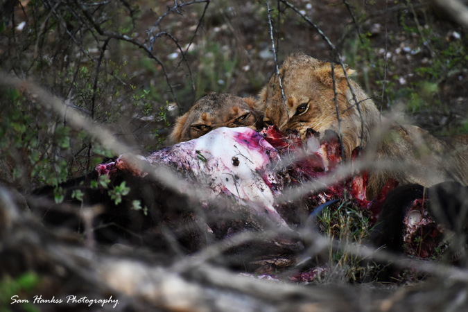 Two lions eating buffalo in Greater Kruger, South Africa