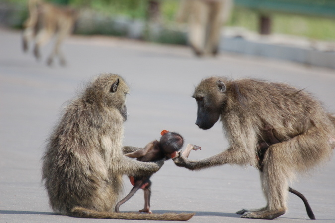 Chacma baboons in Kruger National Park, South Africa