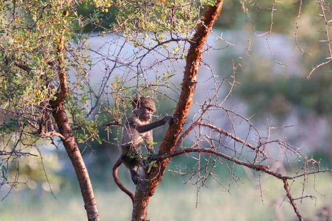 Baby chacma baboon in tree in Kruger National Park, South Africa