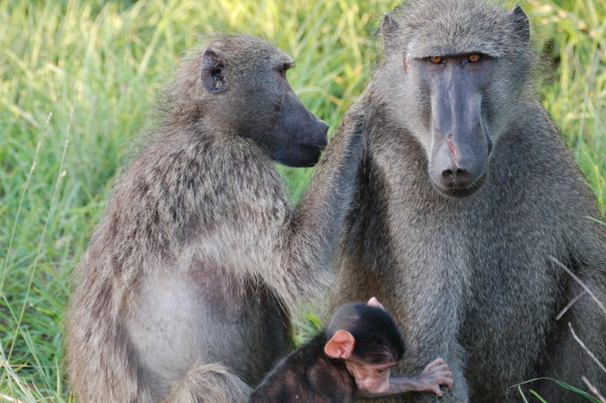 Chacma baboons with baby baboon in Kruger National Park, South Africa