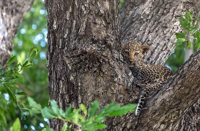Leopard cub in leadwood tree Okavango Delta in Botswana