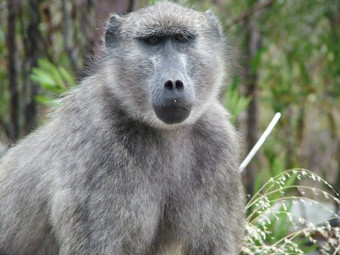 Large male chacma baboon
