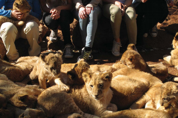 Lion petting facility in South Africa