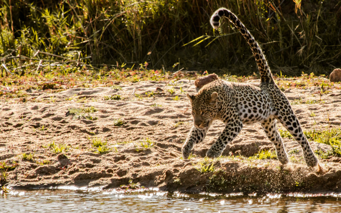 Leopard jumping over water