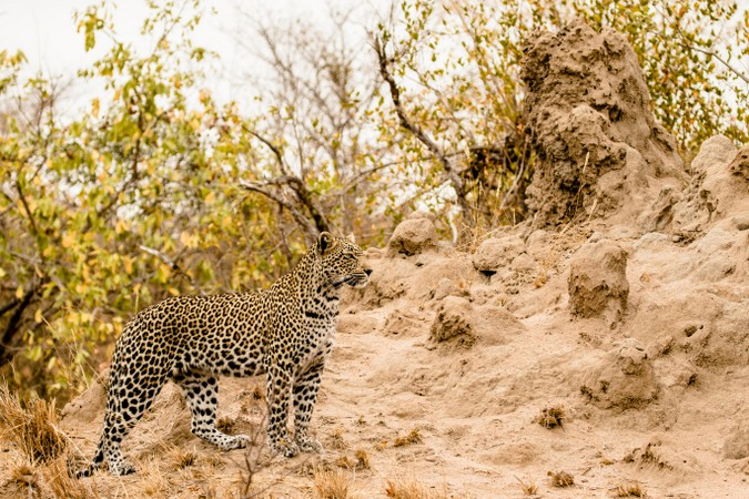 African leopard in the wild