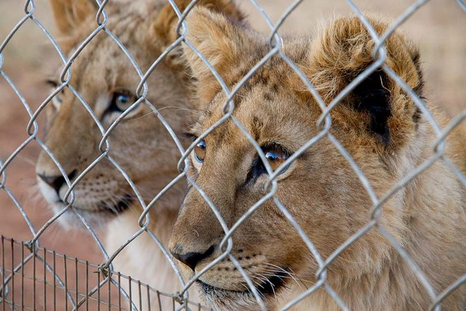 African lions behind a fence at a facility in South Africa