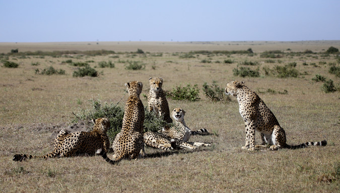 Five cheetahs in Maasai Mara National Reserve in Kenya