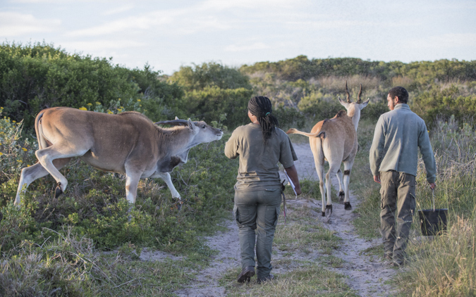 Two monitors herd eland in Cape Flats Strandveld, The Gantouw Project