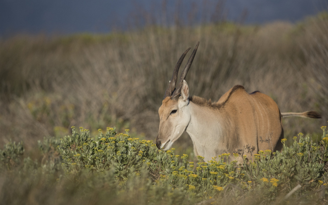 Eland browsing in Cape Flats Strandveld, The Gantouw Project