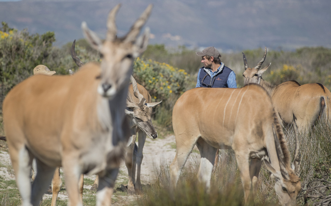 Herd of eland with monitors in Cape Flats Strandveld, The Gantouw Project