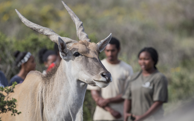 An eland with monitors in Cape Flats Strandveld, The Gantouw Project