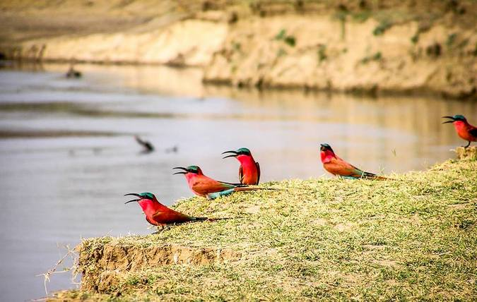 Carmine bee-eaters in South Luangwa National Park, Zambia