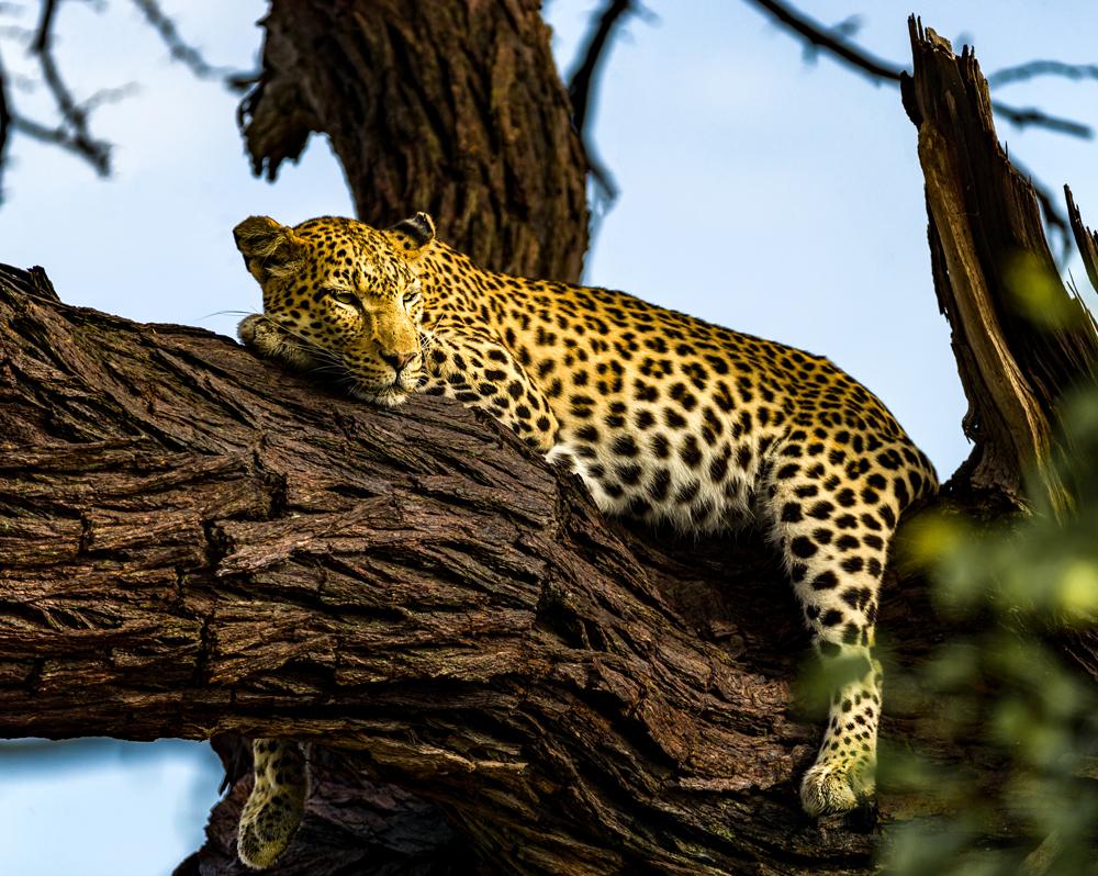 A leopard relaxing in a tree