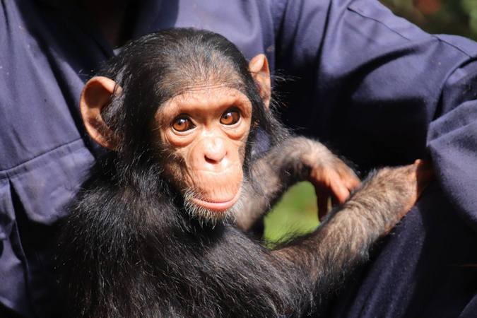 Baby Mussa, the chimpanzee in DR Congo
