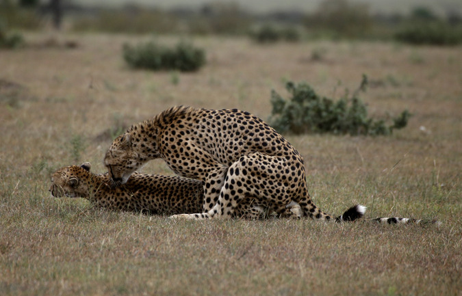 Cheetahs mating in Maasai Mara National Reserve in Kenya
