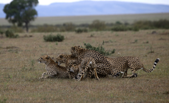 Four cheetahs trying to mate with female in Maasai Mara National Reserve in Kenya