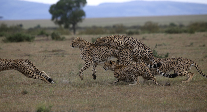 Female cheetah runs away from male cheetahs in Maasai Mara National Reserve in Kenya