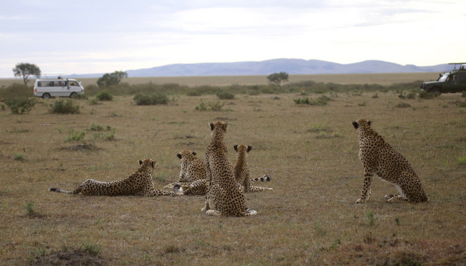 Cheetahs watch a lion in Maasai Mara National Reserve in Kenya
