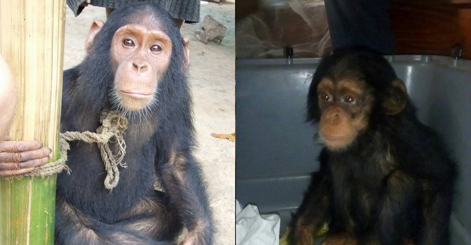 Two rescued chimpanzees in DR Congo