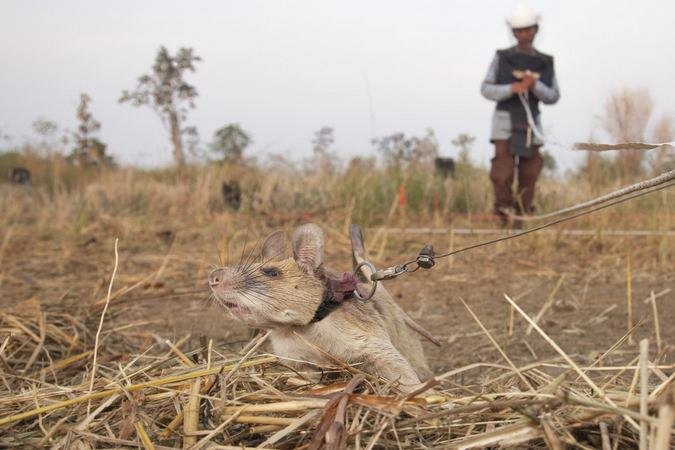 African giant pouched rat sniffing for land mines