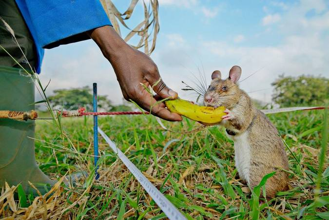 African giant pouched rat eating banana