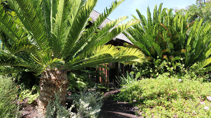 Cycads in Kirstenbosch Botanical Gardens, South Africa