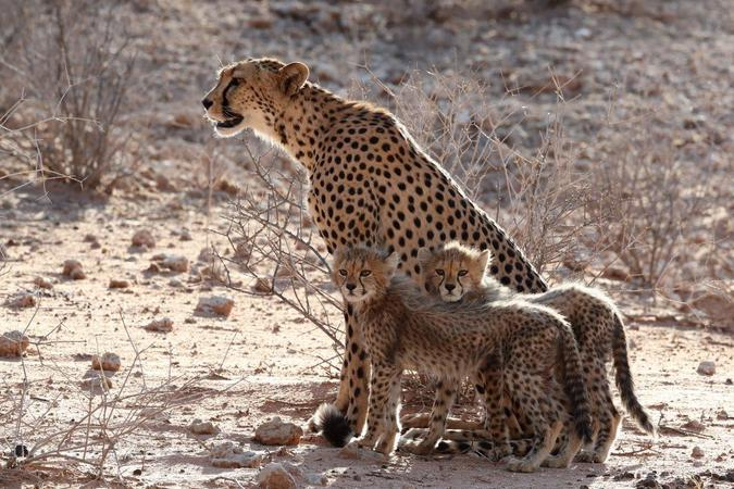 Cheetah with two cubs in Kgalagadi Transfrontier Park, South Africa