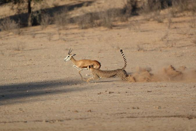Cheetah chasing down springbok in Kgalagadi Transfrontier Park, South Africa