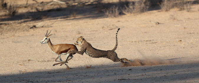 Cheetah about to catch springbok in Kgalagadi Transfrontier Park, South Africa
