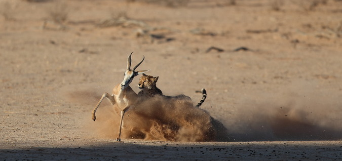 Cheetah attacks springbok in Kgalagadi Transfrontier Park, South Africa