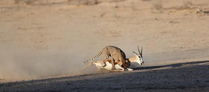 Cheetah bringing down springbok in Kgalagadi Transfrontier Park, South Africa
