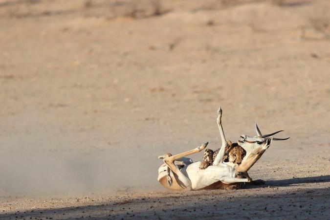 Cheetah death grip on springbok in Kgalagadi Transfrontier Park, South Africa