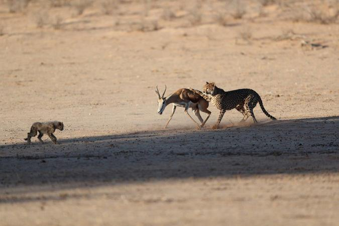 Cheetah and cubs with springbok in Kgalagadi Transfrontier Park, South Africa