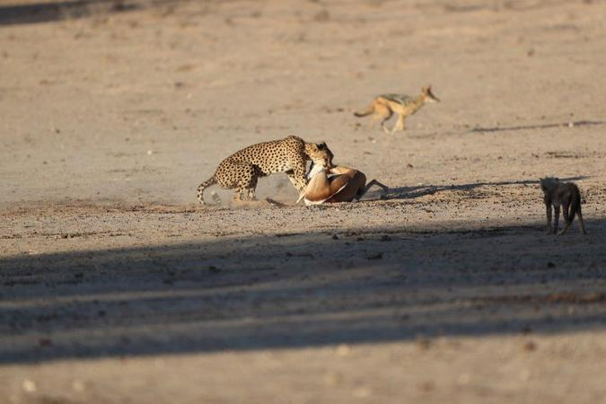 Cheetah with springbok in Kgalagadi Transfrontier Park, South Africa