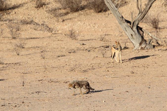 Cheetah cub and black-backed jackal in Kgalagadi Transfrontier Park, South Africa