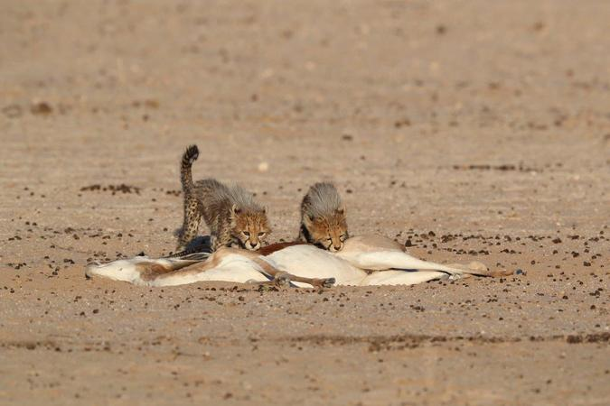 Cheetah cubs eating springbok kill in Kgalagadi Transfrontier Park, South Africa