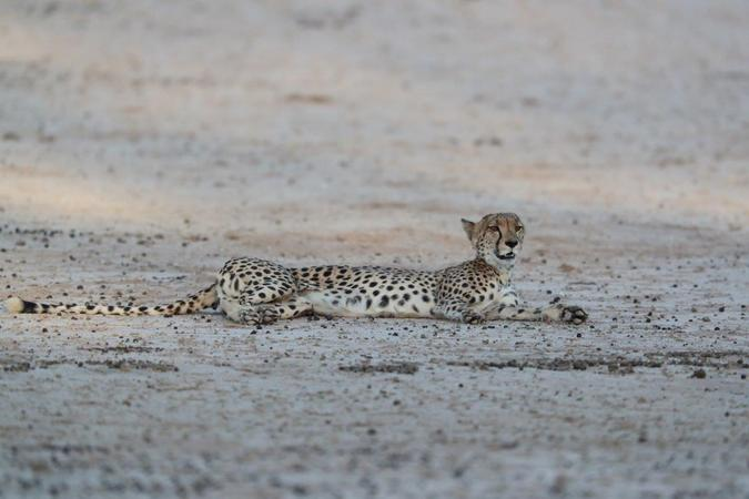 Cheetah resting in Kgalagadi Transfrontier Park, South Africa