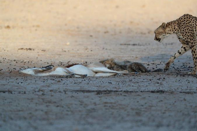 Cheetah and her two cubs at springbok kill in Kgalagadi Transfrontier Park, South Africa