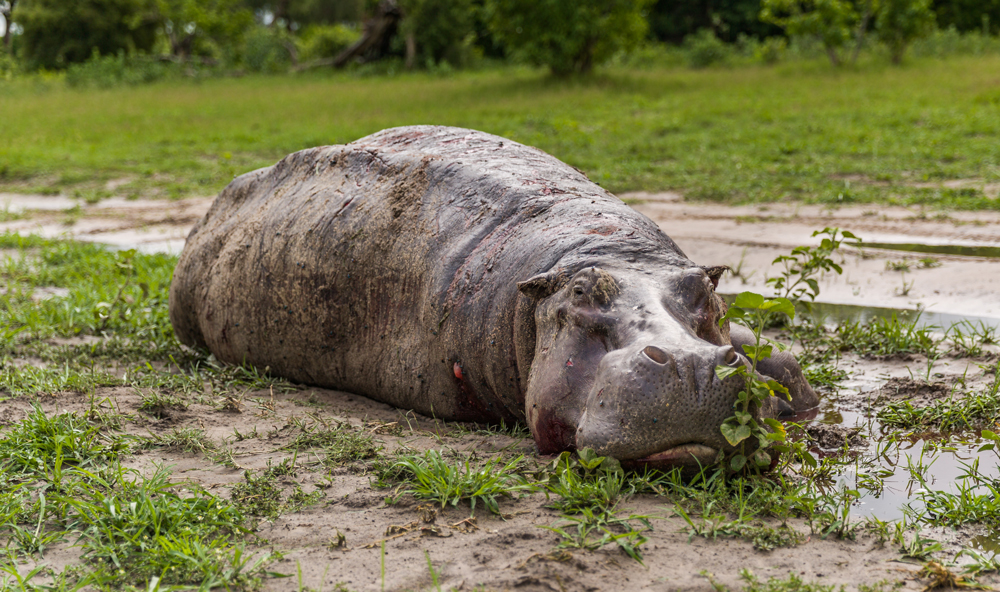 A hippo enjoys some much-needed relaxation